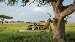 Tanzania Serengeti Safari Truck Tree Lion Jumping Off